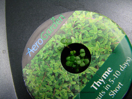 Thyme sprouts