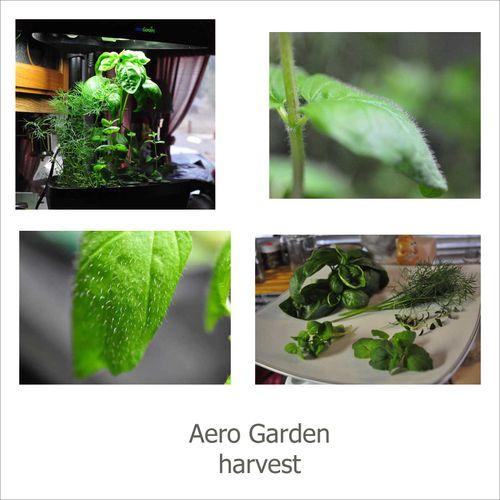 Aero garden mint copy