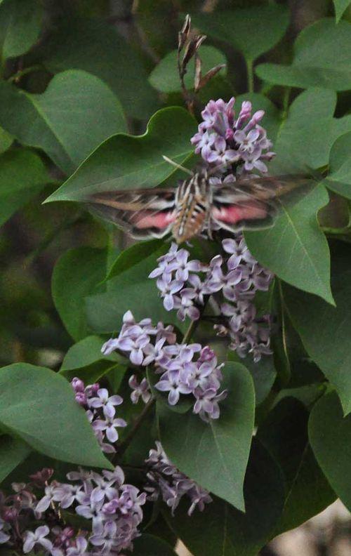 Hummingbird moth two