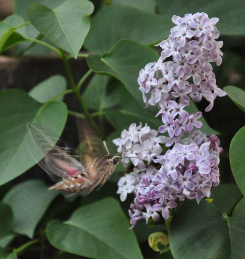 Hummingbird moth one