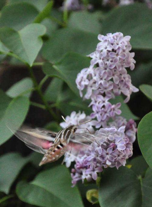 Hummingbird moth three